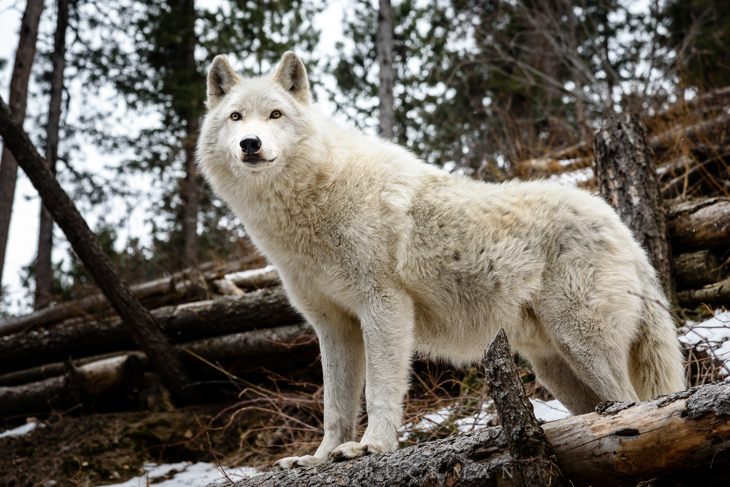 Arctic wolf (Canis lupus arctos) also known as the white wolf or polar wolf, is a subspecies of grey wolf native to Canada's Queen Elizabeth Islands, from Melville Island to Ellesmere Island.