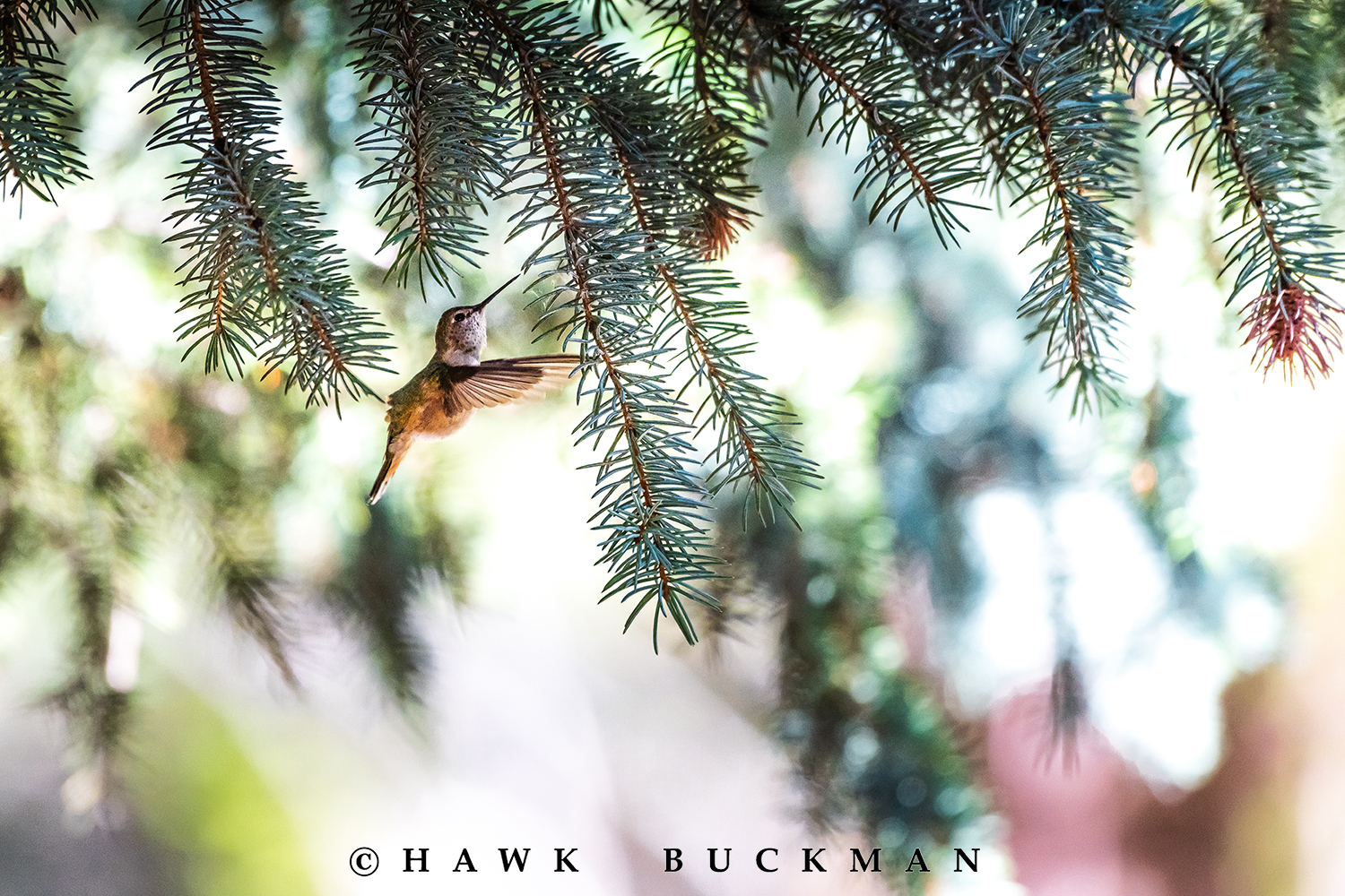 Hawk Buckman - Images of Nature - Extended Editions Collection - black-chinned hummingbird (Archilochus alexandri).