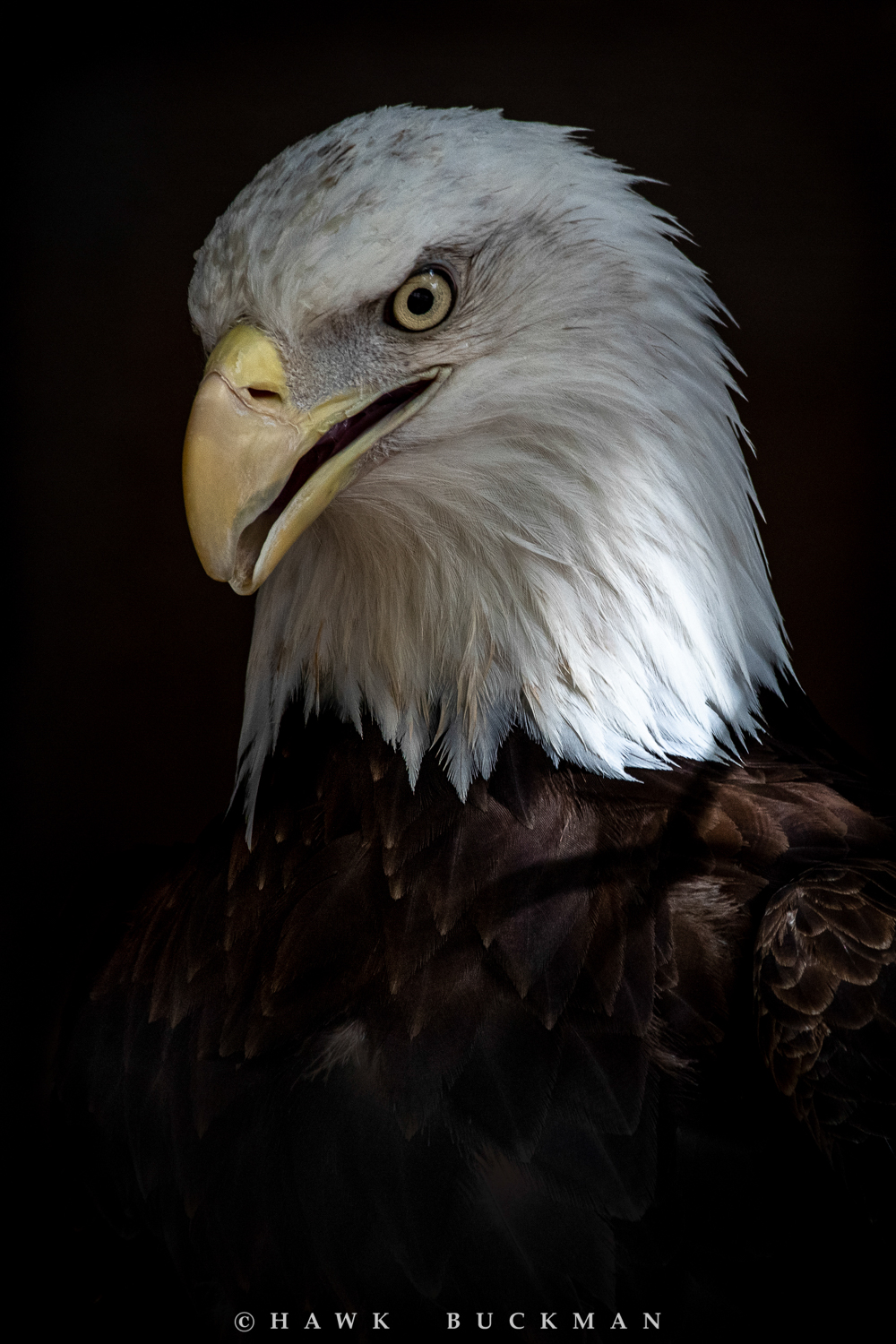 Bald eagle - Haliaeetus leucocephalus - (captive)