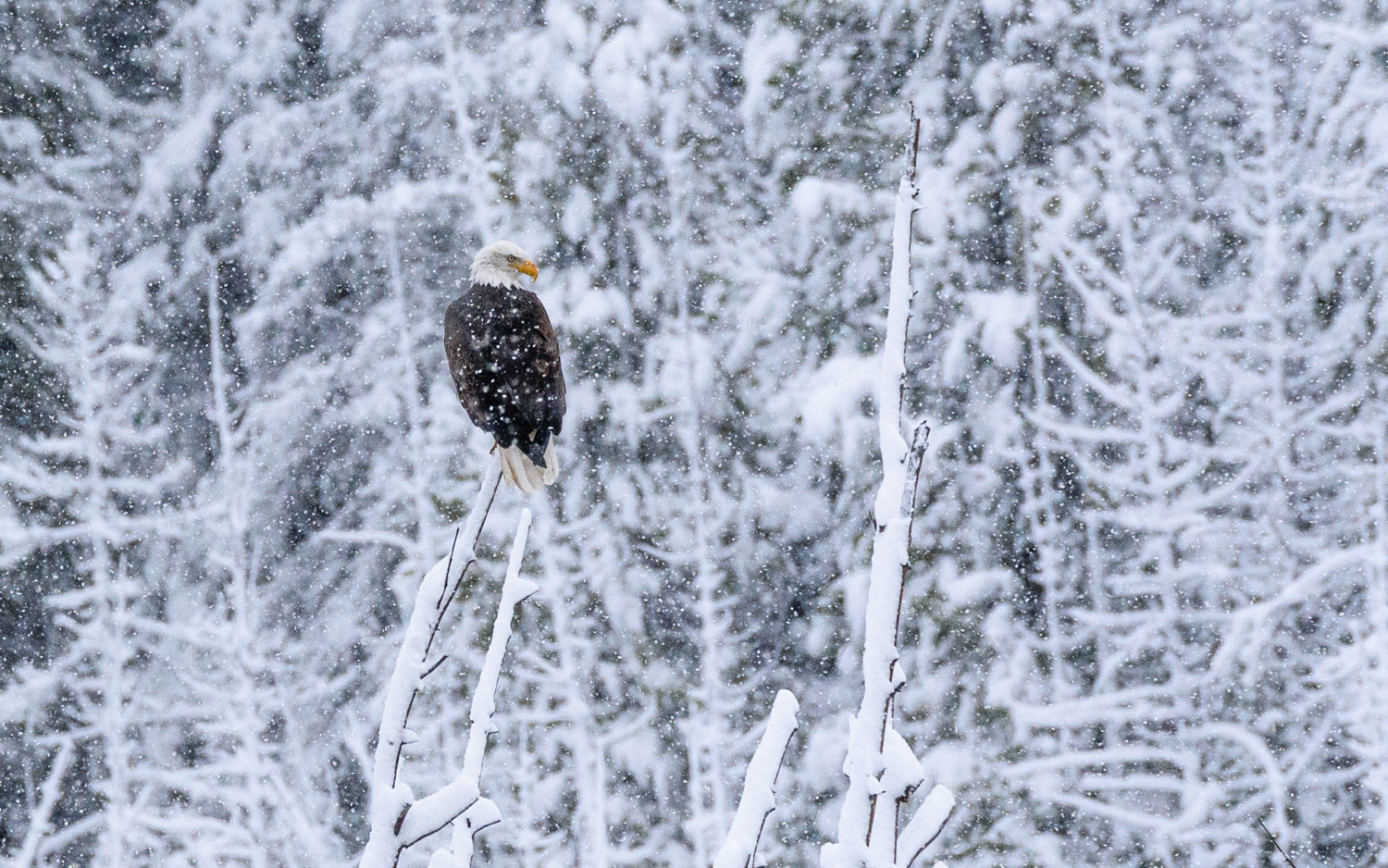 Solitude in Snow - Hawk Buckman Images of Nature