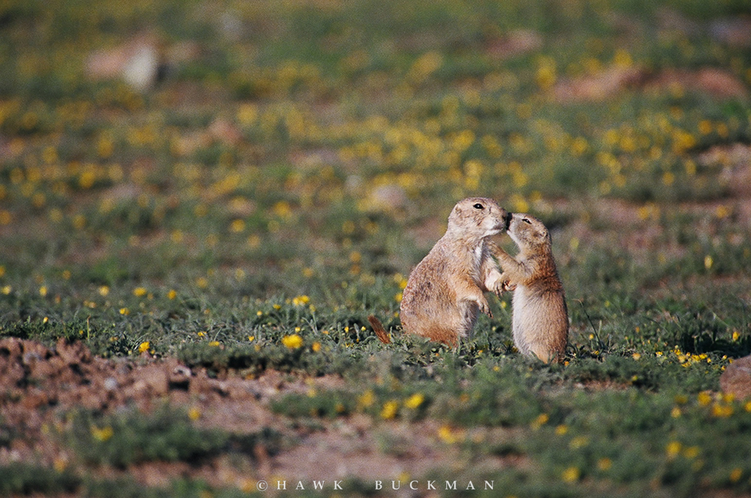 The lifespan in the wild for black-tailed prairie dogs is up to 8 years for females, and around 5 years for males. However, around half of prairie dogs in the wild do not survive their first year of life due to high rates of predation, subliming to pesticides and herbicides or simply being targeted by gun enthusiasts for shooting sport. Prairie dogs in human care can live over 8 years.