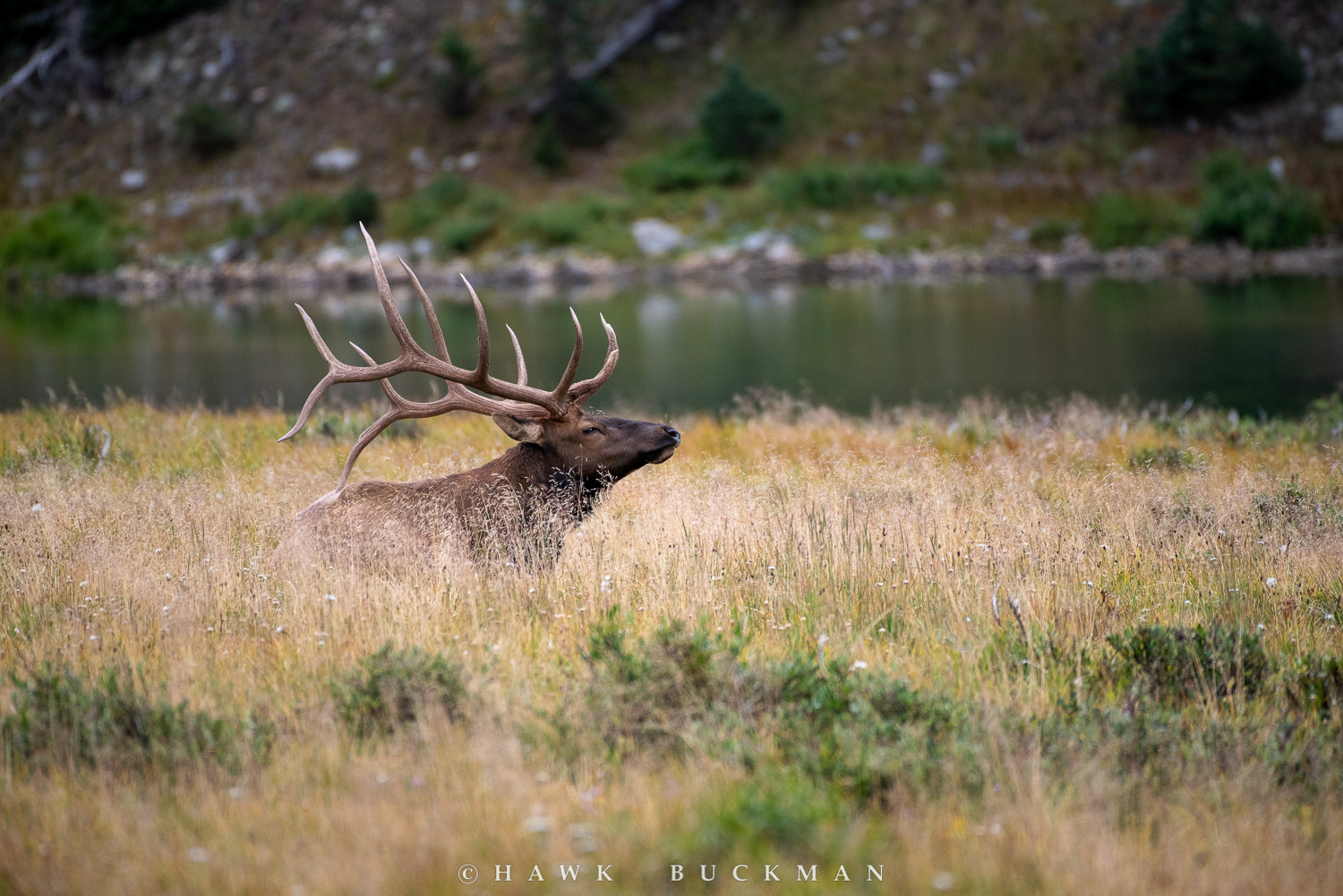 Rocky Mountain elk (Cervus elaphus nelsoni) in Tall Grass