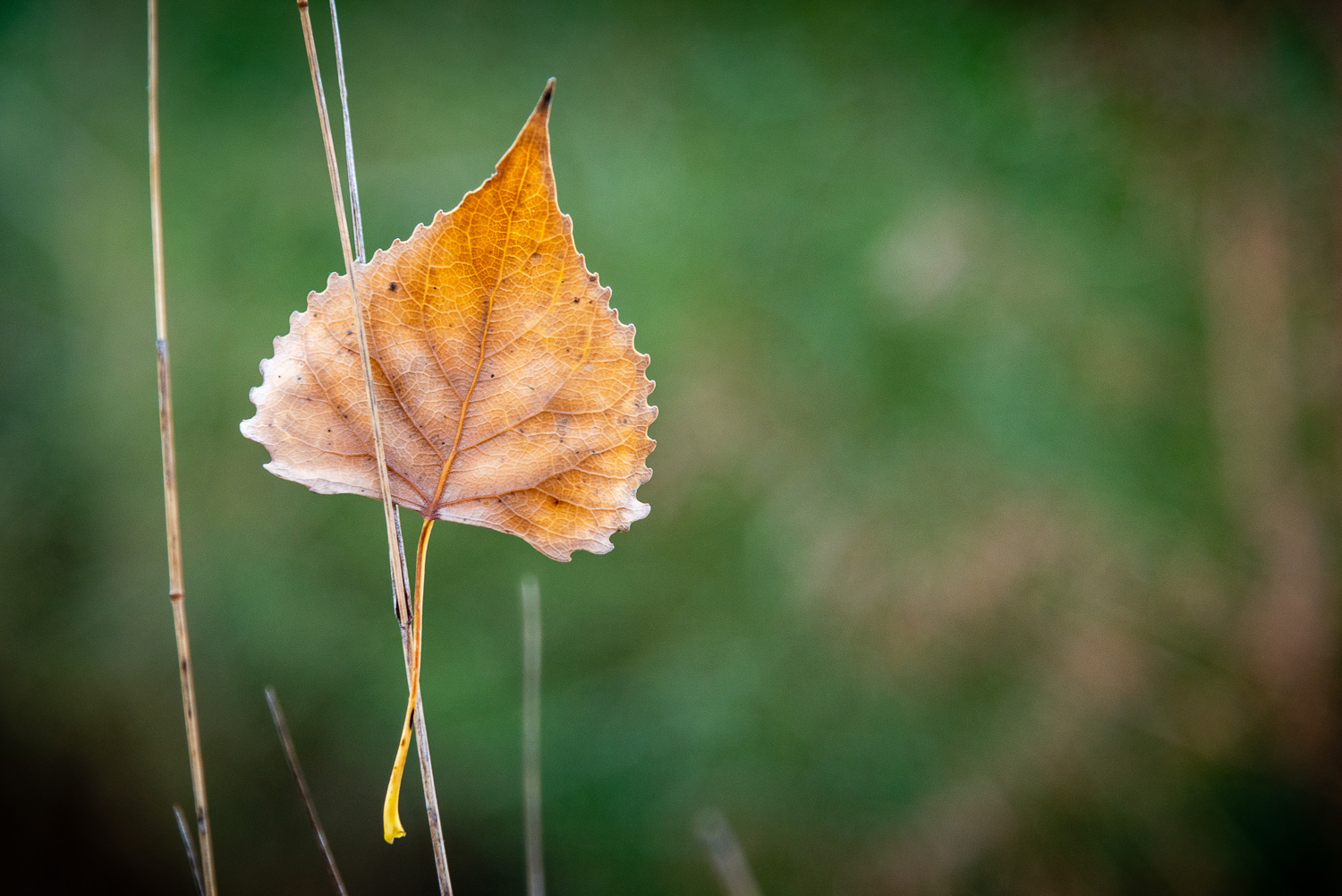 The odds aginst this quacking aspen leaf lodging itself between two blades of grass are astronimical.