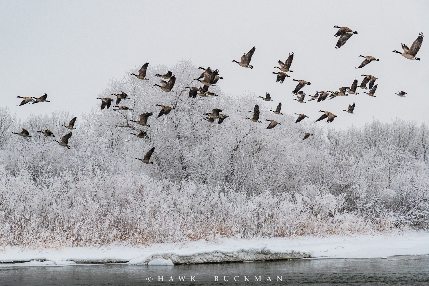 Canadian geese lifting off the North Platte Rive as hoar-frost, ice and snow blanket the landscape during one of the coldest winters in Nebraska.
