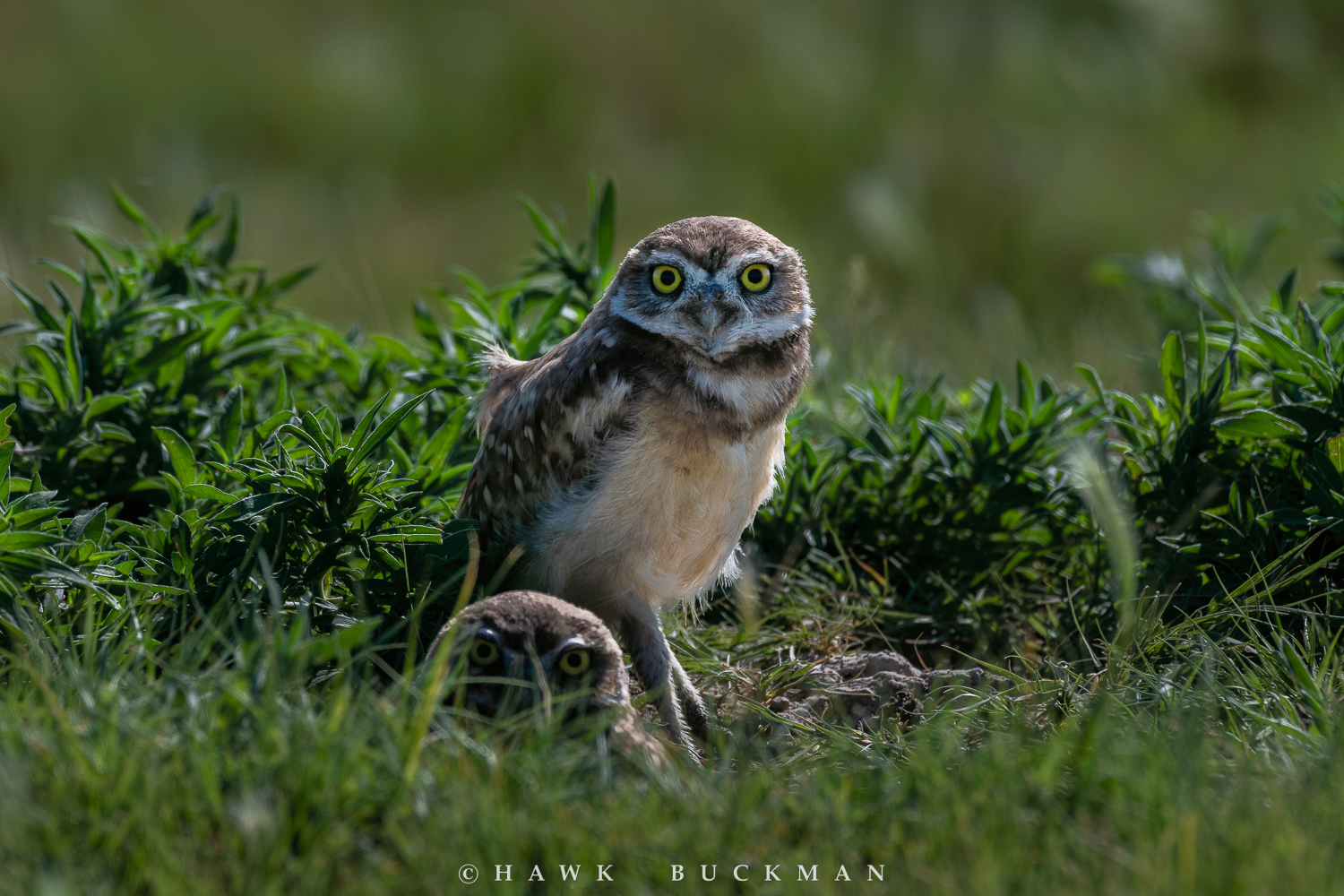 Burrowing owl chicks