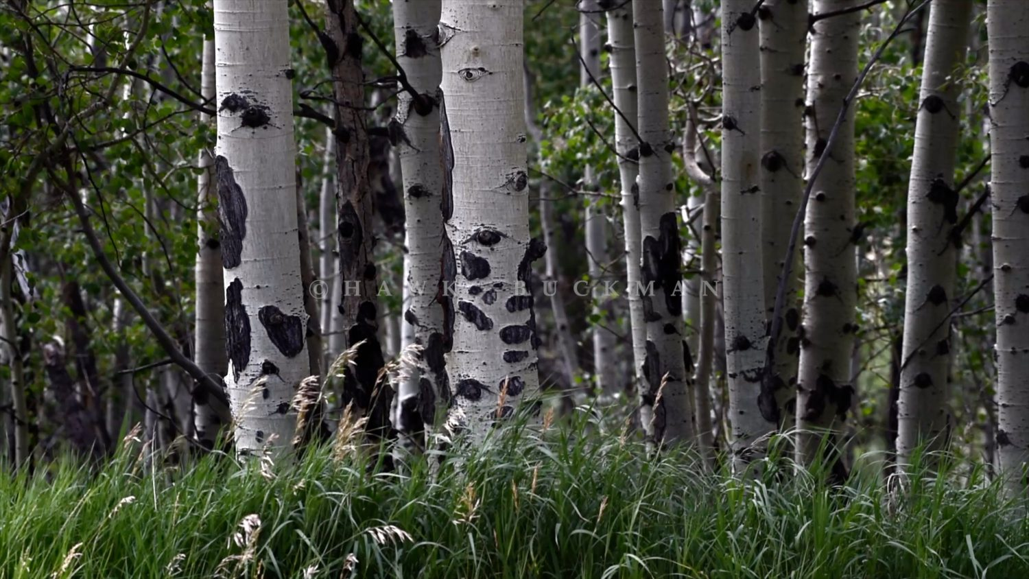 Quaking aspen Stock Video Footage