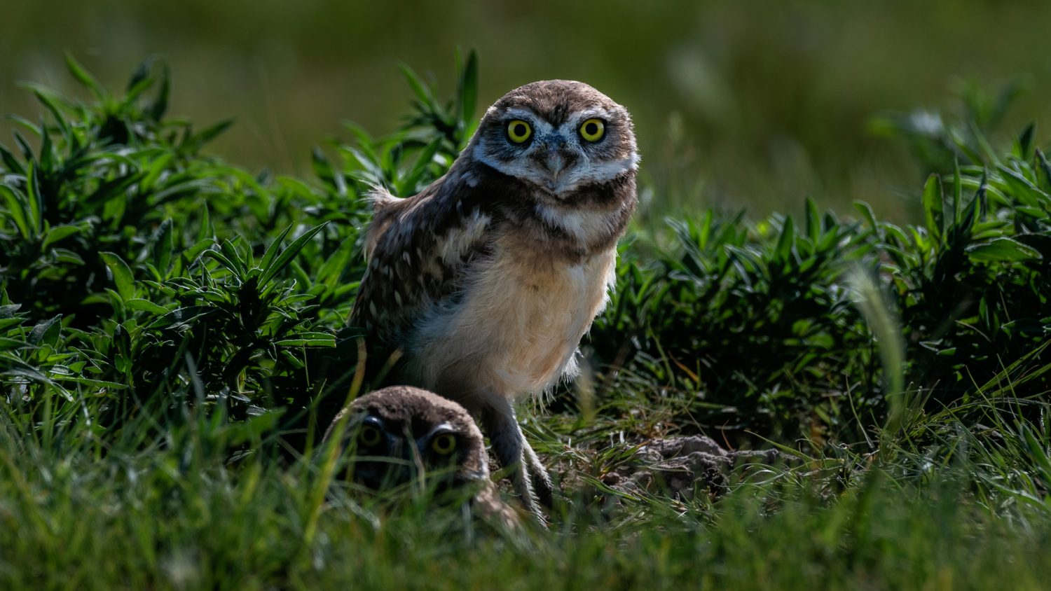 COLOR GRADED FRAME CAPTURE - BURROWING OWLS