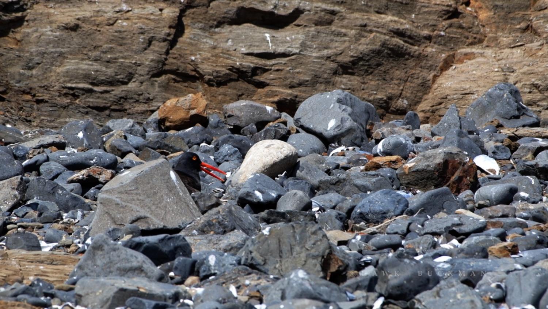 Nesting Black oystercatcher